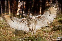 approach by Johnny Krüger; eagle owl