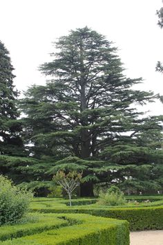 Cedro del Líbano de la Casita de Arriba (Cedrus libani)