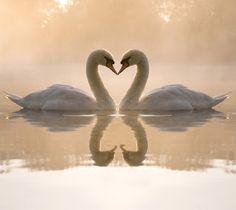 Animal kissing picture Swan Love, Beautiful Swan, Beautiful Birds, Animals Beautiful, Romantic Animals, Animals Kissing, Cute Animals, Baby Animals, Swan Wallpaper