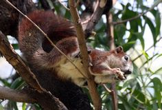 Variable Squirrel (Callosciurus finlaysonii) Occurs only in central Indochina from central Myanmar southeast through much of Thailand and Lao PDR and Cambodia to the Mekong Delta of Viet Nam. An apparently undescribed form of this species was found in the limestone mountains of central Lao PDR (Evans et al. 2000). A small introduced population exists in Singapore.