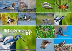 This year's edition features birds from Washington, Oregon, Texas and British Columbia. The cover image features a gorgeous Tricolored Herontaken at the Leonabelle Turnbull Birding Center in Port Aransas Texas . Each month your wall will be graced by a spectacular image of a North American Bird. From the adorable Burrowing Owl to Black-necked....