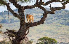 Lioness Tree House Photo by Peter Arebalo — National Geographic Your Shot