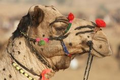 Portrait Of A Decorated Camel At The Annual Pushkar Fair In Rajasthan,.. Royalty Free Stock Photo, Pictures, Images And Stock Photography. Image 4347625.