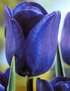 Blue Parrot Tulip | Tulip Blue Aimable - Wholesale flower bulbs from Holland | Dutch Grown