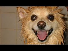Video Dogs go crazy after bathing - Funny dog compilations