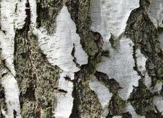Die weiße Rinde der Birke ist in jeder Jahreszeit ein Hingucker. #homestory #homestoryde #home #tipps #garten #garden #pflanzen #plants #rinde #bäume