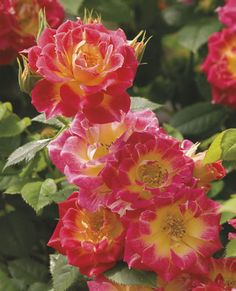 Tiddly Winks Miniature Rose-It's a flowerful garden work horse pumping out clusters of shapely double blooms. Very pointed buds of deep gold unfurl to show a glowing orange-pink interior with a surprising yellow 'eye'. The long-lived blossoms are set against very bright green leaves. Tidy, round & compact – it's easy to tuck into a container or let loose in the landscape. Deeper colors in cooler conditions.