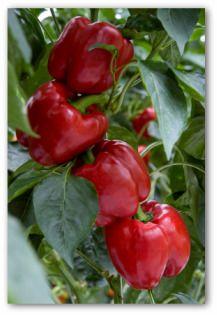 1000 Images About Pepper Garden On Pinterest Pepper 400 x 300
