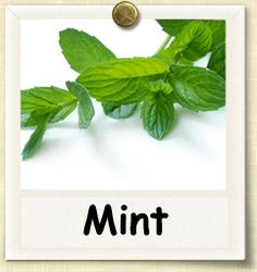 Non-hybrid Mint growing guide.