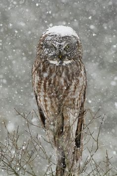 """beautiful-wildlife: """" Snowstorm Owl by © Mircea Costina Photography Great Grey Owl or Lapland Owl (Strix nebulosa) in Snowstorm """""""