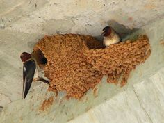 Two cliff swallows constructing mud nests.  photo Ken Thomas - KenThomas.us (personal website of photographer)