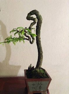 straight  Bonsai Bonsai Tree Care, Indoor Bonsai Tree, Bonsai Plants, Bonsai Garden, Pre Bonsai, Mini Bonsai, Tamarindus Indica, Adventure Time Wallpaper, Bonsai Styles
