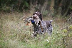 A loyal and intelligent breed, German Wirehaired Pointers are like eager school kids waiting to be taught new and important tricks.