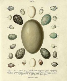Die Eier der Vögel Deutschlands i, 1818 by peacay, via Flickr