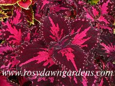 Easy To Grow Houseplants Clean the Air Coleus 'Flamingo' Medium-Large Upright - Left 2 Beautiful Gardens, Beautiful Flowers, Easy To Grow Houseplants, Greenhouse Plants, Plant Catalogs, Tropical, Clematis, Shade Garden, Garden Planning