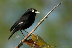 Run run, macho, Chile Exotic Birds, Colorful Birds, Cute Birds, Little Birds, Beautiful Birds, Mother Nature, Animals And Pets, Flora, Creatures