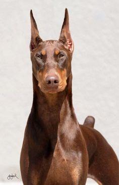 """Karma"" - Grand Ch Cambria's Must Be Fate...Amazing head study Doberman Pinscher Puppy Dogs Dobie puppies dog"