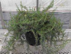Majorca Rosemary  Rosmarinus officinalis 'Majorca'