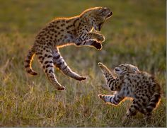 Baby Servals anyone?