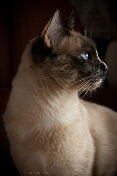 Siamese Cat ~AnaFelixPires on deviantART