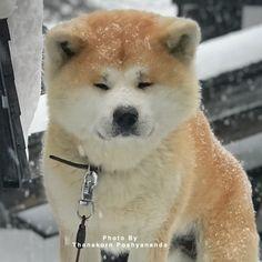 Japanese Akita, Japanese Dogs, Cute Puppies, Cute Dogs, Japanese Dog Breeds, Animals And Pets, Cute Animals, Japon Tokyo, American Akita