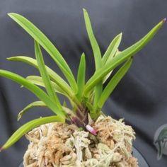 Hakuhou 白鳳 - New World Orchids Golden Star, Orchids, World, Plants, The World, Plant, Planets, Orchid
