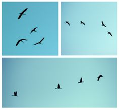 over my house, 60 cranes travelling north from Africa, Spain and France....