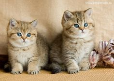 British golden shaded kittens