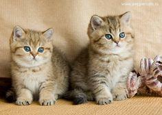 British golden shaded kittens