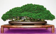This Hinoki forest is from the Redwood Empire Bonsai Society's 2009 Annual Show.