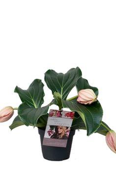 medinilla piccolini | Medinilla piccolini  De Medinilla piccolini is een schitterende kamerplant en groeit binnen no-time uit als het 'juweeltje' van de woonkamer.   Zet de plant op een lichte standplaats maar niet in direct zonlicht. Deze Medinilla heeft 3 bloemen die als roze trossen naar beneden hangen. Geeft de plant regelmatig water maar pas op dat er geen overtollig water in de (sier)pot blijft staan.