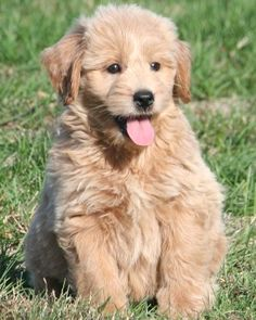 miniature goldendoodle - full grown! so cute!
