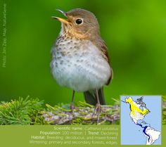 Swainson's Thrush: Bird of the Week- abc.org