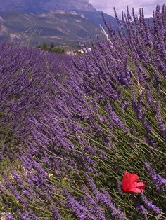 fields of lavender in the south of france.