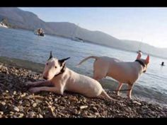 English Bull Terriers first time at the beach - Rafik & Ice
