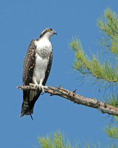 Osprey (Pandion haliaetus). Taken at Big Cypress National Preserve, South Florida, USA