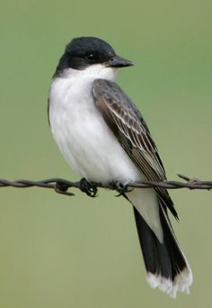 Eastern Kingbird  Merritt Island National Wildlife Refuge, Titusville, FL  2007