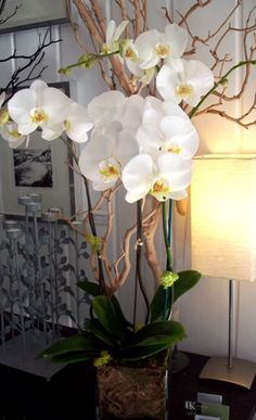 White Phalaenopsis:  3 Large phalaenopsis plants in 6.5 x 6.5 square vase with green moss and white manzanita branches.        Recommend for Office Gifts, House Warming Gifts, Sympathy (sending you thought and prayers to the family)        Arrangement Approx. 2.5 ft Tall