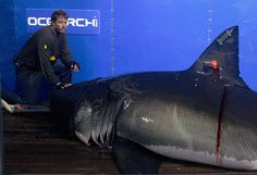 Captain McBride places his hand on the snout of the shark while scientists collect blood, tissue samples and attach tracking devices on the research vessel Ocearch off the coast of Chatham, US. Before release, the 15ft, 2,292lb shark was named Genie for famed shark researcher Eugenie Clark. The Ocearch team baits the fish & leads them on to a lift, tagging & taking blood, tissue & semen samples. The real-time satellite tag tracks the shark each time its dorsal fin breaks the surface.