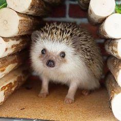 この寝床ではあまり寝ないのですが、入ってこちらを見てる事があります。 #hedgie #hedgehog #ハリネズミ #はりねずみ #pet #刺猬…