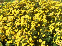 chrysanthemum seeds yellow buttons, bulk flower seeds