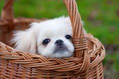 Na psim tropie: Gruczoły okołoodbytowe u psa