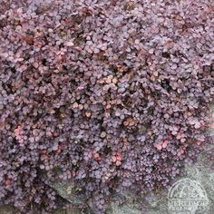 Ground Cover plant that grows so tight to the ground, no weeds can get started. Acaena inermis 'Purpurea'. ; Purple New Zealand Burr. Make sure you start with weed free soil.