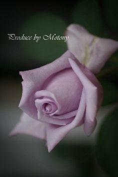 BlueChateau  My favorite Rose ever
