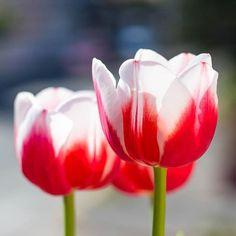 #flowers #flores #nature #naturaleza #tulipanes #tulips #plantas #plants #red
