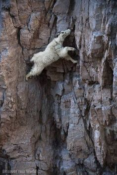 A mountain goat descends a sheer rock wall to lick exposed salt. Glacier national Park, Montana