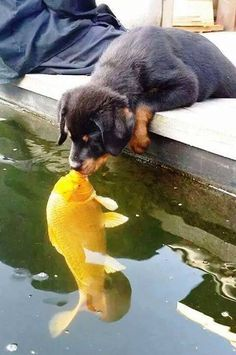Puppy Kissing A Fish cute animals beautiful dogs adorable fish dog amazing puppy animal pets funny animals Cute Funny Animals, Cute Baby Animals, Animals And Pets, Wild Animals, Farm Animals, Cute Puppies, Cute Dogs, Dogs And Puppies, Doggies