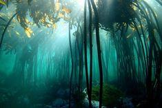 Underwater kelp forests in the ocean around Cape Town