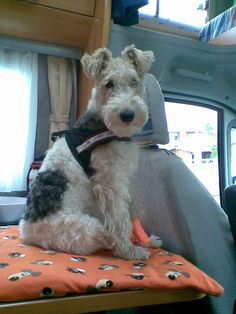 Elli and bandage. Fox Terriers, Chien Fox Terrier, Wirehaired Fox Terrier, Welsh Terrier, Wire Fox Terrier, Animal Pictures, Cute Pictures, Animals And Pets, Cute Animals