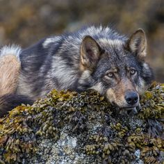 Resting Wolf by Paul Nicklen. A lone wolf rests in the intertidal zone along the British Columbia coast, where it patiently waits for low tide. Beautiful Creatures, Animals Beautiful, Cute Animals, Wolf Spirit, Spirit Animal, Wolf Pictures, Animal Pictures, Tier Wolf, Wolf Hybrid